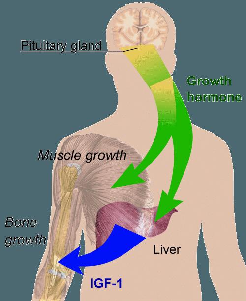 growth hormone and igf-1