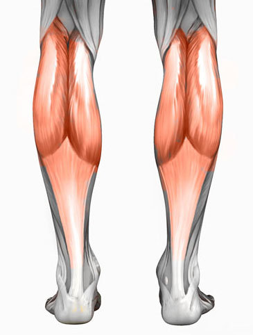 calf muscle anatomy